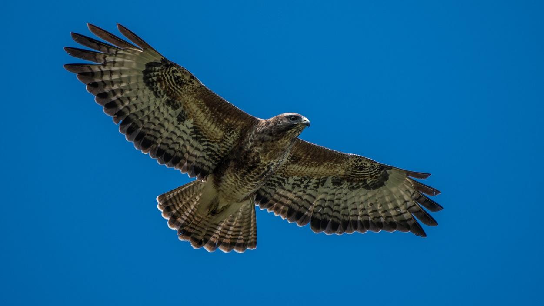 Buzzard in flight Knepp Wildlandrsz
